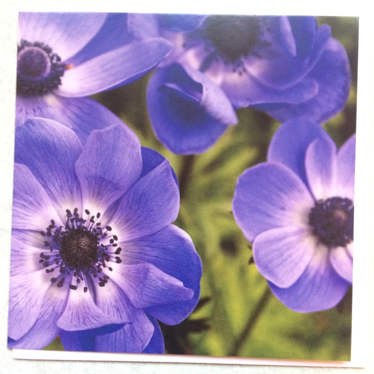 Blue Anemonies turn their faces to the camera covering the face of this card with glimpses of green vegetation in the background